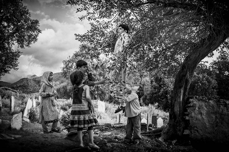 Children pick olives from the trees in a cemetery. Swatis used to believe that olive trees were sacred and preferred to bury their dead around these trees. Mingora, Swat. Pakistan. 2013/08/14.