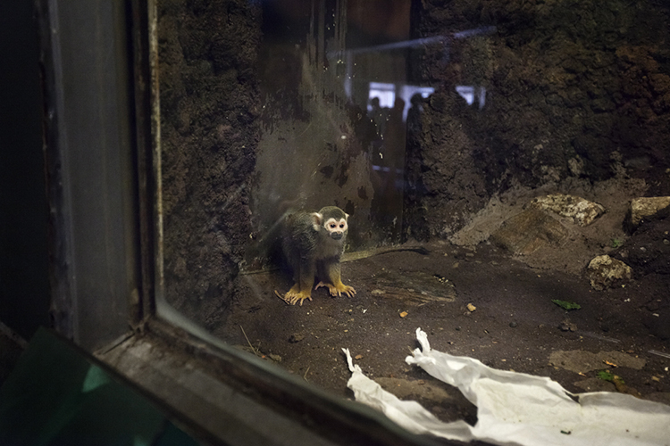 BRONX, NEW YORK- APRIL 17: Squirrel Monkey inside the enclosure in the monkey house at the Bronx Zoo April 17, 2011 in Bronx, New York.